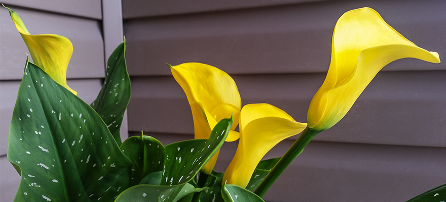 Beautiful Calla Lily flowers at my front door.
